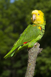 Yellow-Headed Amazon Parrot (Amazona Oratrix) Stampa fotografica di Lynn M. Stone