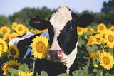 Portrait of Holstein Cow Standing in Sunflowers, Pecatonica, Illinois, USA Lámina fotográfica por Lynn M. Stone