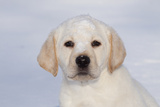 Labrador Retriever Puppy (10 Weeks Old) with Snow on Face Fotografisk tryk af Lynn M. Stone