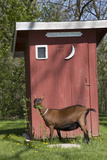 Oberhasli Dairy Goat Standing by Outhouse, East Troy, Wisconsin, USA Photographic Print by Lynn M. Stone