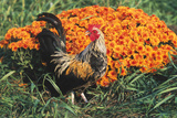 Mixed Breed Rooster Photographic Print by Lynn M. Stone