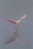 Pretty in Pink - Immature Roseate Spoonbill (Platalea Ajaja) Stretches Wings Reproduction photographique par Lynn M. Stone