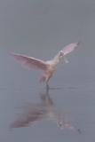 Pretty in Pink - Immature Roseate Spoonbill (Platalea Ajaja) Stretches Wings Stampa fotografica di Lynn M. Stone