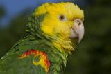 Yellow-Headed Amazon Parrot (Amazona Oratrix), Captive Stampa fotografica di Lynn M. Stone