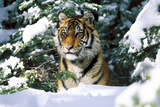 Male Tiger Peering Through Snow-Covered Spruce Trees (Captive Animal) Fotografisk tryk af Lynn M. Stone