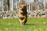 German Shepherd Dog Running in Meadow of Dandelions with Stone Fence in Background Stampa fotografica di Lynn M. Stone