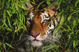 Portrait of Tiger (Panthera Tigris) in Bamboo (Captive) Endangered Species Fotoprint av Lynn M. Stone
