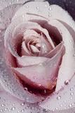 Tea Rose in Bloom, Santa Barbara, California, USA Fotografie-Druck von Lynn M. Stone