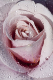 Tea Rose in Bloom, Santa Barbara, California, USA Stampa fotografica di Lynn M. Stone
