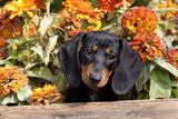 Portrait of Black Mini Dachshund Pup in Antique Wooden Box by Zinnias, Gurnee, Illinois, USA Fotografisk tryk af Lynn M. Stone
