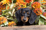 Portrait of Black Mini Dachshund Pup in Antique Wooden Box by Zinnias, Gurnee, Illinois, USA Stampa fotografica di Lynn M. Stone