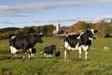Holstein Cows Mingle in Pasture in Front of Red Dairy Farm Buildings Fotografie-Druck von Lynn M. Stone
