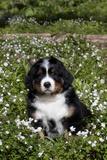 Bernese Mountain Dog Pup in Spring Wildflowers (Anemone), Elburn, Illinois, USA Fotografisk tryk af Lynn M. Stone
