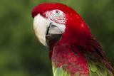 Green-Winged Macaw (Ara Chloropterus) Stampa fotografica di Lynn M. Stone