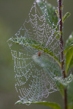 Spider Web and Leaves Soaked with Early Morning Dew in Meaadow, North Guilford Fotografisk tryk af Lynn M. Stone