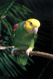Yellow-Headed Amazon Parrot (Amazona Ochrocephala Tresmariae) Stampa fotografica di Lynn M. Stone