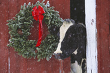 Holstein Cow Portrait with Wreath in Falling Snow, Marengo, Illinois Fotografisk tryk af Lynn M. Stone