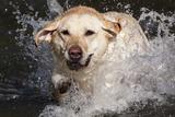 Yellow Labrador Retriever Plunging into Stream to Start Retrieve, St. Charles, Illinois, USA Stampa fotografica di Lynn M. Stone