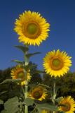 Giant Sunflowers in Bloom, Pecatonica, Illinois, USA Fotografie-Druck von Lynn M. Stone