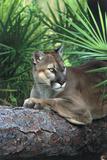 Florida Panther (Felis Concolor) on Fallen Pine Branch Among Saw Palmettos, South Florida, USA Fotografie-Druck von Lynn M. Stone