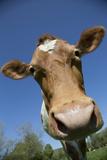 Guernsey Cow in Lush Spring Meadow, Granby, Connecticut, USA Lámina fotográfica por Lynn M. Stone