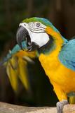 Blue and Gold Macaw (Ara Ararauna) Captive, R- Panama and South Venezuela Stampa fotografica di Lynn M. Stone