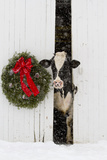 Holstein Cow in Snowstorm by Green Wreath and Red Ribbon, St. Charles, Illinois, USA Fotografie-Druck von Lynn M. Stone