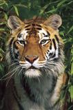 Tiger Portrait by Bamboo Leaves (Captive Animal) Impressão fotográfica por Lynn M. Stone