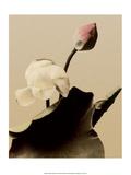 Lotus Flower, Vintage Japanese Photography Posters av Ogawa Kasamase