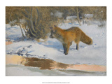 Fox in the Snow Posters af Bruno Liljefors
