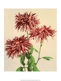 Chrysanthemums, Vintage Japanese Photography Posters av Ogawa Kasamase