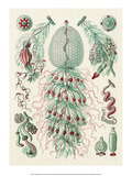 Art Forms of Nature, Siphonophorae Planscher av Ernst Haeckel