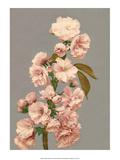 Cherry Blossom, Vintage Japanese Photography Konst av Ogawa Kasamase