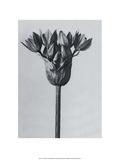Garlic Plant Pôsters por Karl Blossfeldt