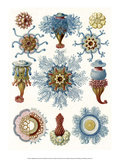 Art Forms of Nature, Siphonophorae Poster by Ernst Haeckel