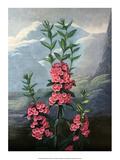 Botanical Print, The Narrow-Leaved Kalmia Posters by Philip Reinagle
