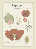 Papaver Giclee Print by Maria Mendez