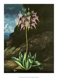 Botanical Print, The American Cowslip Prints by Peter Charles Henderson