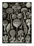 Art Forms of Nature, Thalamophora Posters by Ernst Haeckel