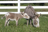Miniature Donkey Mother with Foal in Green Pasture Grass, Middletown, Connecticut, USA Stampa fotografica di Lynn M. Stone