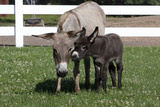 Brown Donkey Mare (Jenny) with Dark Foal in Clover and Grass, Middletown, Connecticut, USA Lámina fotográfica por Lynn M. Stone