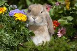 Holland Lop Rabbit on Club Moss Among Flowers, Torrington, Connecticut, USA Reproduction photographique par Lynn M. Stone