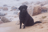 Black Labrador Retriever in Fog Sitting at Edge of Surf on Rocky Beach, Charlestown Stampa fotografica di Lynn M. Stone