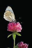 Aporia Crataegi (Black-Veined White Butterfly) Lámina fotográfica por Paul Starosta