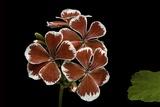 Pelargonium X Hortorum 'Mr. Wren' (Common Geranium, Garden Geranium, Zonal Geranium) Photographic Print by Paul Starosta