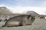 Southern Elephant Seal Lámina fotográfica por Joe McDonald