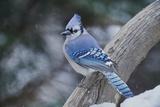 Geai bleu Reproduction photographique par Gary Carter