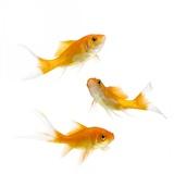 Goldfish Swimming in Water Photographic Print by Herbert Kehrer