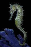 Hippocampus Kuda (Common Seahorse, Estuary Seahorse, Yellow Seahorse, Spotted Seahorse) Lámina fotográfica por Paul Starosta