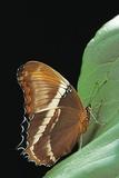 Siproeta Epaphus (Rusty-Tipped Page, Brown Siproeta) Photographic Print by Paul Starosta